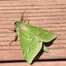 Aenetus virescens - Photo (c) Grant Crawford, alguns direitos reservados (CC BY-NC-SA)