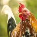 Domestic Chicken - Photo (c) Héctor Farah, some rights reserved (CC BY-NC)