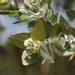 Eucalyptus pleurocarpa - Photo (c) keenasfish, osa oikeuksista pidätetään (CC BY-NC)