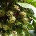 Pseudopanax laetus - Photo (c) lloyd_esler, some rights reserved (CC BY-NC), uploaded by Lloyd Esler