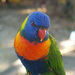 Rainbow Lorikeet - Photo (c) Stan van Remmerden, some rights reserved (CC BY-NC)