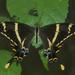 Papilio machaonides - Photo (c) Pedro Genaro Rodriguez, algunos derechos reservados (CC BY-NC)