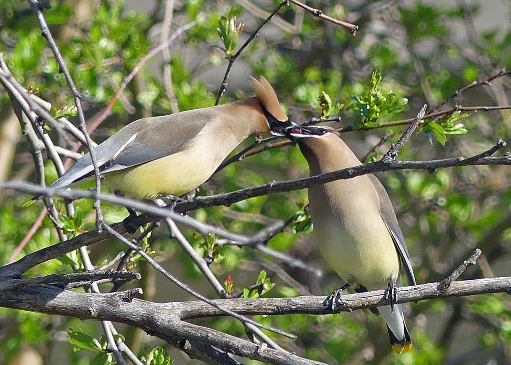One cedar waxwing feeds a berry to another