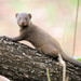 Common Dwarf Mongoose - Photo (c) maritzasouthafrica, some rights reserved (CC BY-NC)