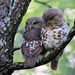 African Barred Owlet - Photo (c) maritzasouthafrica, some rights reserved (CC BY-NC)