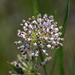 Longleaf Milkweed - Photo (c) Hans Holbrook, some rights reserved (CC BY-NC)