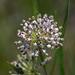 Asclepias longifolia - Photo (c) Hans Holbrook, osa oikeuksista pidätetään (CC BY-NC)