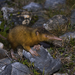 Haitian Solenodon - Photo (c) Pedro Genaro Rodriguez, some rights reserved (CC BY-NC)