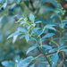 Searsia tomentosa - Photo (c) magriet b, algunos derechos reservados (CC BY-SA)