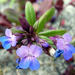 Small-flowered Blue-eyed Mary - Photo (c) Mike Carroll, some rights reserved (CC BY-NC-SA)