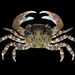 Asian Shore Crab - Photo (c) Ondřej Radosta, some rights reserved (CC BY-NC)