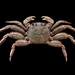 Red Rock Crab - Photo (c) Ondřej Radosta, some rights reserved (CC BY-NC)