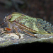 Hairy Cicadas - Photo (c) Simon Grove, some rights reserved (CC BY-NC), uploaded by Simon Grove (TMAG)