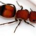 Pseudomethoca simillima - Photo (c) kestrel360,  זכויות יוצרים חלקיות (CC BY-NC-ND)