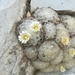 Feather Cactus - Photo (c) Carlos G Velazco-Macias, some rights reserved (CC BY-NC)