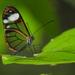 Mariposa de Cristal de Venas Curvas - Photo (c) karenculma, algunos derechos reservados (CC BY-NC)