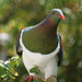 New Zealand Pigeon - Photo (c) Justin Bell, some rights reserved (CC BY-SA)