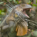 Green Iguana - Photo (c) Steven Easley, some rights reserved (CC BY-NC)