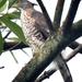 Accipiter trivirgatus - Photo (c) Tan Kok Hui, μερικά δικαιώματα διατηρούνται (CC BY-NC)