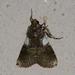 Accinctapubes albifasciata - Photo (c) Arnold Wijker, algunos derechos reservados (CC BY-NC)