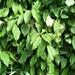 Piper kadsura - Photo (c) 淑端, algunos derechos reservados (CC BY-NC)