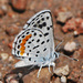 American Dotted Blues - Photo (c) Jerry Oldenettel, some rights reserved (CC BY-NC-SA)