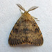 Gypsy Moth - Photo (c) richardjaybee, some rights reserved (CC BY-NC)