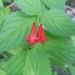 Flor de Mirto Rojo Silvestre - Photo (c) Mark Fishbein, algunos derechos reservados (CC BY-NC)