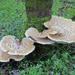 Polyporus squamosus - Photo (c) Davide Puddu, μερικά δικαιώματα διατηρούνται (CC BY-NC)