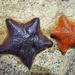 Asterinidae - Photo (c) Simon Grove,  זכויות יוצרים חלקיות (CC BY-NC), uploaded by Simon Grove (TMAG)