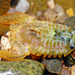 Sphaeromatidae - Photo (c) Simon Grove, algunos derechos reservados (CC BY-NC), uploaded by Simon Grove (TMAG)
