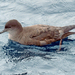 Short-tailed Shearwater - Photo (c) Simon Grove, some rights reserved (CC BY-NC), uploaded by Simon Grove (TMAG)