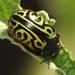 Escarabajo Calígrafo del Centro - Photo (c) troi_olivares, algunos derechos reservados (CC BY-NC)
