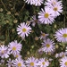 Cut-leaved Daisy - Photo (c) Nicola Baines, some rights reserved (CC BY-NC)