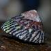 Bembicium nanum - Photo (c) Simon Grove, algunos derechos reservados (CC BY-NC), uploaded by Simon Grove (TMAG)