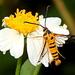 Ichneumenoptera chrysophanes - Photo (c) Pete Woodall, osa oikeuksista pidätetään (CC BY-NC)