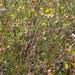 Deschampsia danthonioides - Photo (c) Jason Krantz,  זכויות יוצרים חלקיות (CC BY-NC-SA)