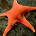 Αστερίας - Photo (c) canaryrockfish, μερικά δικαιώματα διατηρούνται (CC BY-NC)