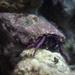 Calcinus haigae - Photo (c) Craig Fujii, μερικά δικαιώματα διατηρούνται (CC BY-NC-ND)