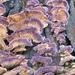 Trichaptum biforme - Photo (c) John Boback, algunos derechos reservados (CC BY-NC)