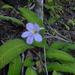 Streptocarpus formosus - Photo (c) Andrew Hankey, alguns direitos reservados (CC BY-SA)