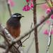 Sibia de Formosa - Photo (c) Liu JimFood, algunos derechos reservados (CC BY-NC)