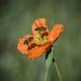 Papaver aculeatum - Photo (c) Brendan Cole, alguns direitos reservados (CC BY-NC-ND)