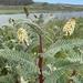 Astragalus pycnostachyus pycnostachyus - Photo (c) Brendan Schwarz, algunos derechos reservados (CC BY-NC)