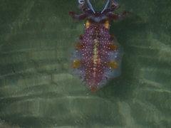 Sepioteuthis sepioidea image
