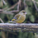 Finches, Euphonias, and Allies - Photo (c) Tony Hisgett, some rights reserved (CC BY)