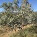 Eucalyptus microneura - Photo (c) Aaron Bean, osa oikeuksista pidätetään (CC BY-NC)