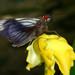 Carystus phorcus - Photo (c) Jonh Arias, algunos derechos reservados (CC BY-NC)