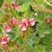 Tephrosia polystachya - Photo no hay derechos reservados