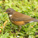 White-necked Thrush - Photo (c) Sergio R Porto, some rights reserved (CC BY-NC)